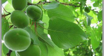 Підступна спокуса незрілих плодів