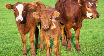 Дотація за молодняк великої рогатої худоби передбачена державною програмою «Державна підтримка галузі тваринництва»